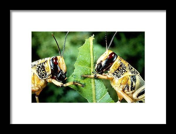 Agricultural Pest Framed Print featuring the photograph Two Desert Locusts Eating by Perennou Nuridsany