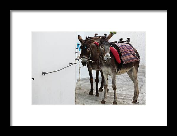Working Animal Framed Print featuring the photograph Two Donkeys Tethered In The Street In by Martin Child
