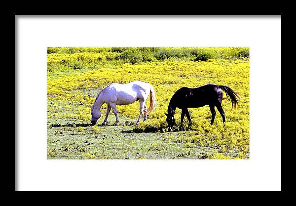 Grazing Horses Framed Print featuring the photograph Two Horses Grazing by Genia Gartner