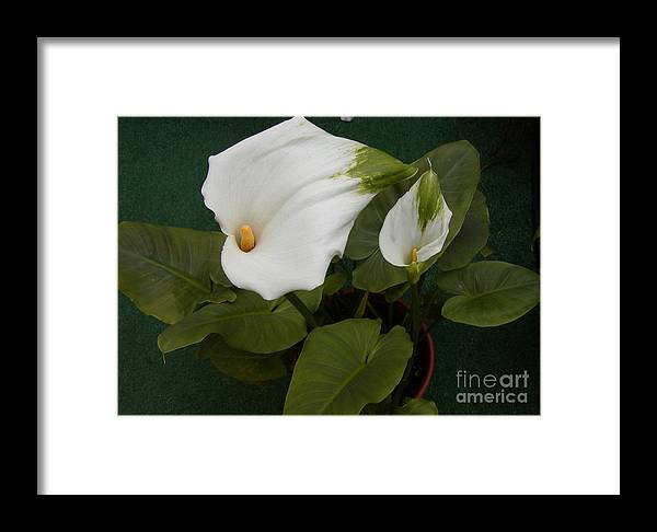 Lily Framed Print featuring the photograph Two Lilies by Jussta Jussta