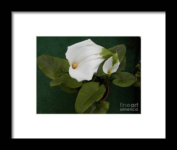 Lily Framed Print featuring the photograph Two Lovely Lilies by Jussta Jussta