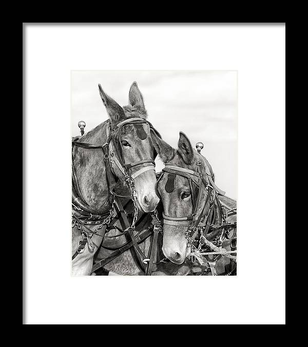 Mules Framed Print featuring the photograph Two of a Kind by Ron McGinnis