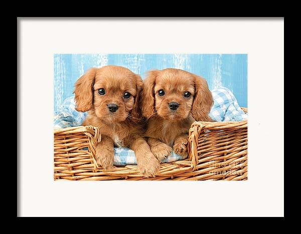 Cavalier Framed Print featuring the digital art Two Puppies In Woven Basket Dp709 by Greg Cuddiford