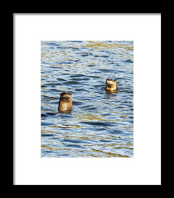 River Otter Framed Print featuring the photograph Two River Otters by Belinda Greb