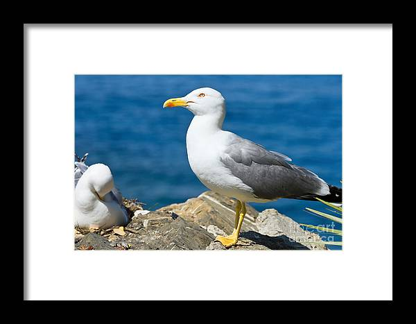 Animal Framed Print featuring the photograph Two Seagull by Antonio Scarpi