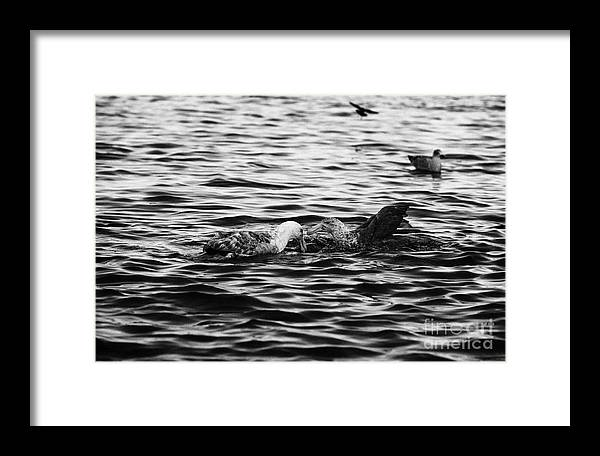 Southern Framed Print featuring the photograph two southern giant petrels feeding in port lockroy Antarctica by Joe Fox
