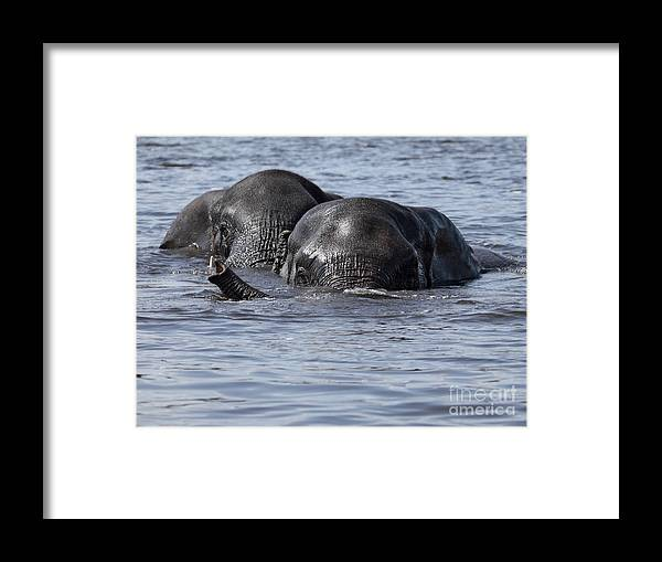 African Elephant Framed Print featuring the photograph Two Swimming Elephants by Liz Leyden