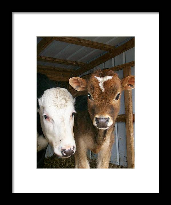 Cows Framed Print featuring the photograph Two's Company by Sara Raber