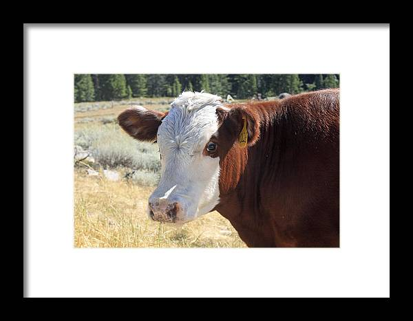 Framed Print featuring the photograph Typical Cattle by Cait Lewis