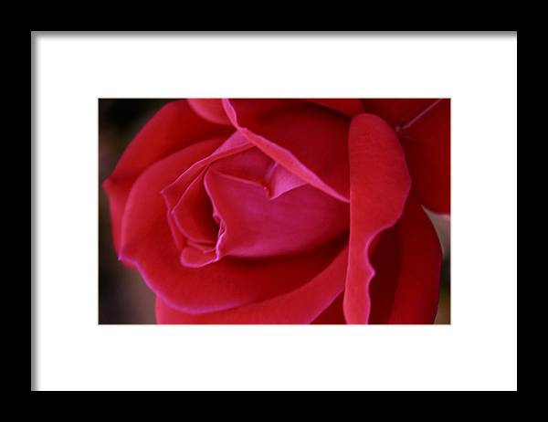 Rose Framed Print featuring the photograph Unfolding Glory by Mary Beglau Wykes
