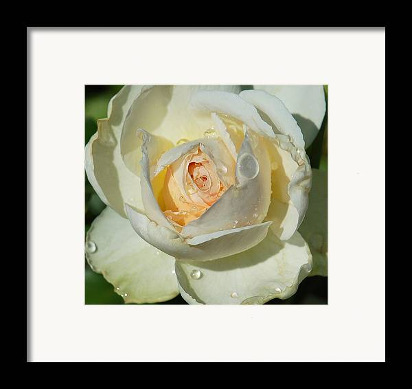 Rose Framed Print featuring the photograph Unfolding by Suzanne Gaff