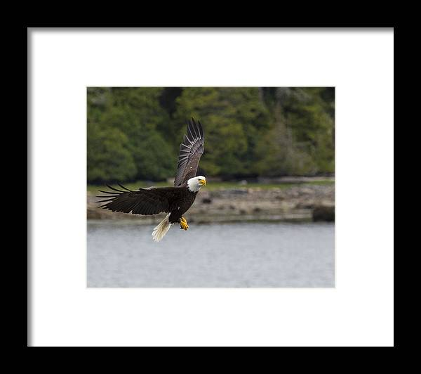 Bald Framed Print featuring the photograph Up Up And Away by Mike Taddeo