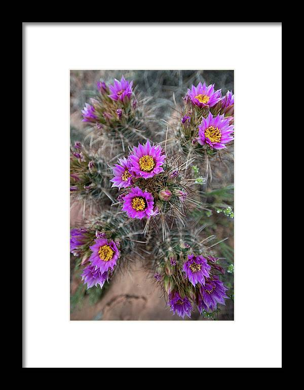 Cactus Framed Print featuring the photograph Usa, Utah Whipples Fishook Cactus by Judith Zimmerman