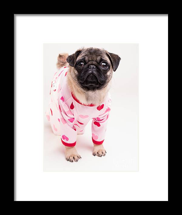 Pug Framed Print featuring the photograph Valentine's Day - Adorable Pug Puppy In Pajamas by Edward Fielding