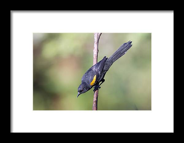 Variable Oriole Framed Print featuring the photograph Variable Oriole by Jefferson Silva