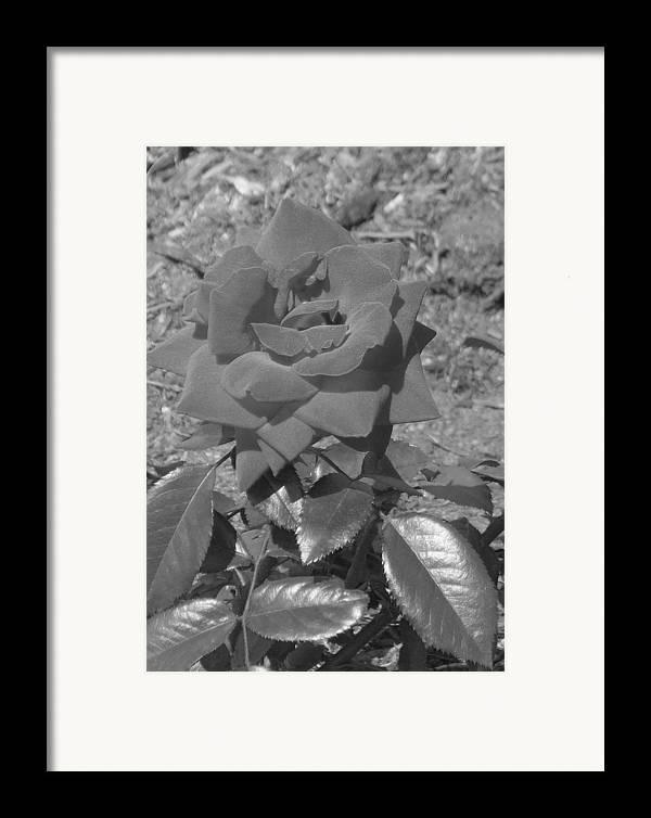 Rose Framed Print featuring the photograph Velvet Rose by Pharris Art