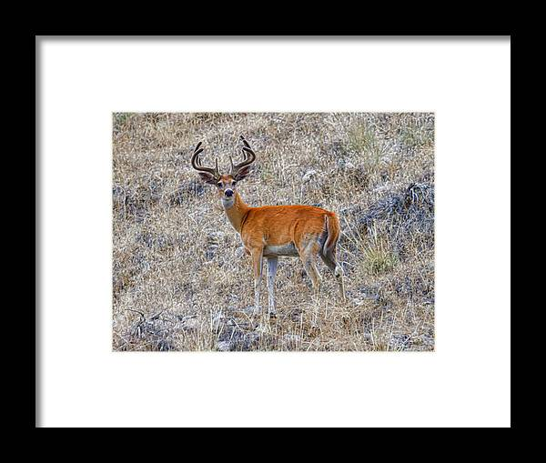 White Tailed Buck Framed Print featuring the photograph Velvet White Tail by Steve McKinzie