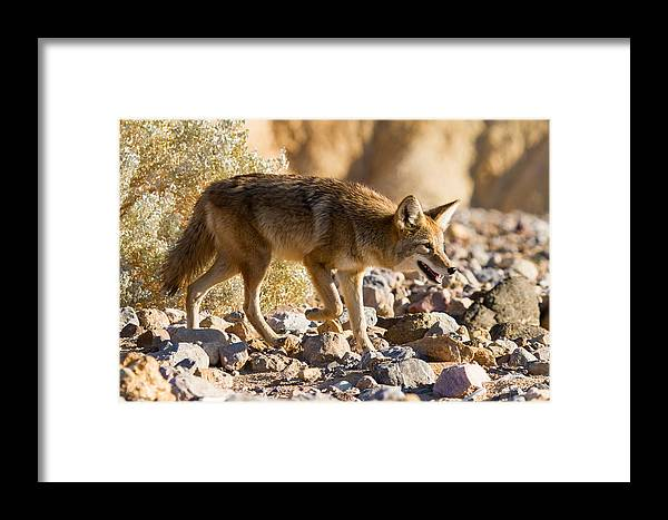 California Framed Print featuring the photograph Versatile Carnivore by James Marvin Phelps