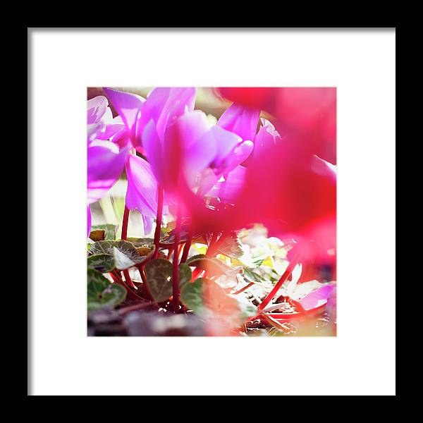 Shadow Framed Print featuring the photograph Vibrant Magenta Cyclamen In Bloom by Erika Pino
