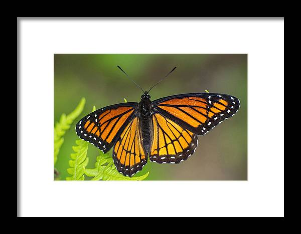 Viceroy Framed Print featuring the photograph Viceroy On Fern Frond by Jim Zablotny