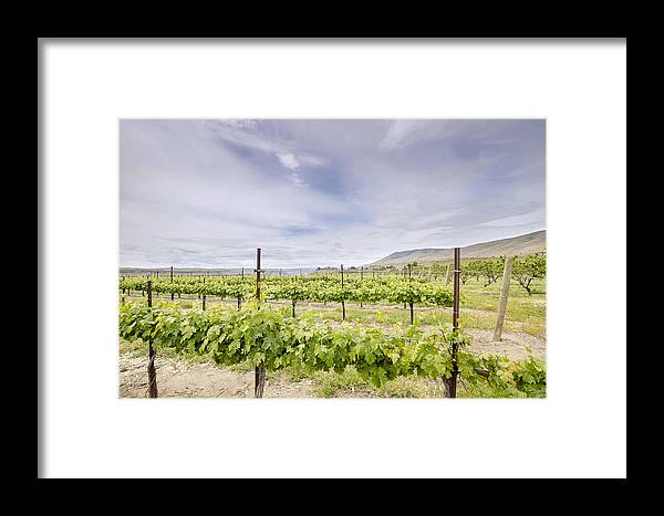 Winery Framed Print featuring the photograph Vineyard Landscape In Maryhill Washington State by Jit Lim