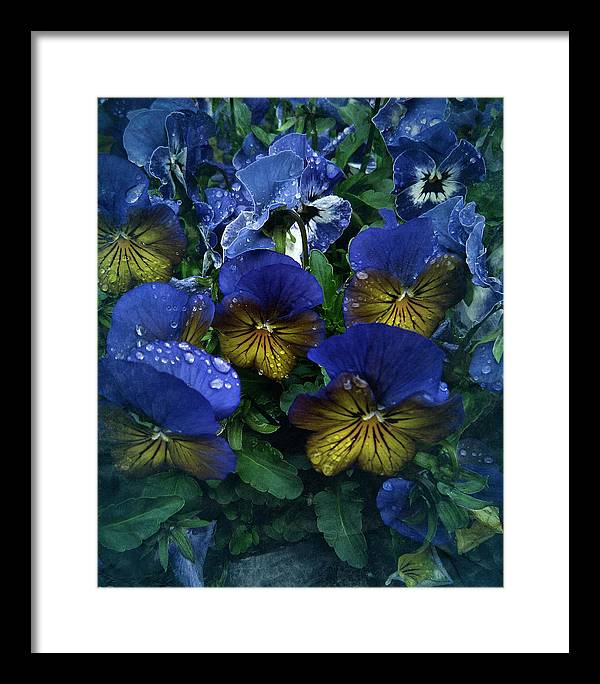 Pansy Framed Print featuring the photograph Vintage Pansy Drops by Richard Cummings