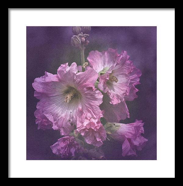 Pink And White Hollyhocks Framed Print featuring the photograph Vintage Pink And White Hollyhocks by Richard Cummings