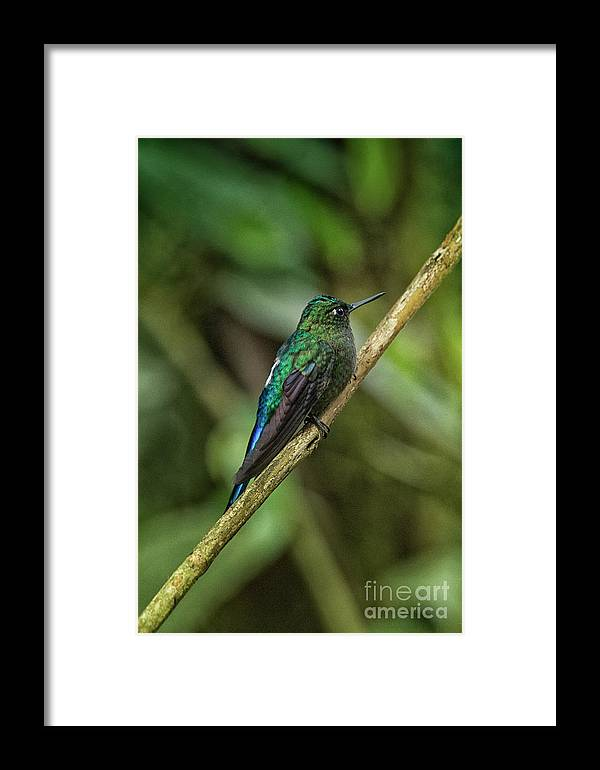 Ecuador Framed Print featuring the photograph Violet-eared Brilliant II by Todd Bielby