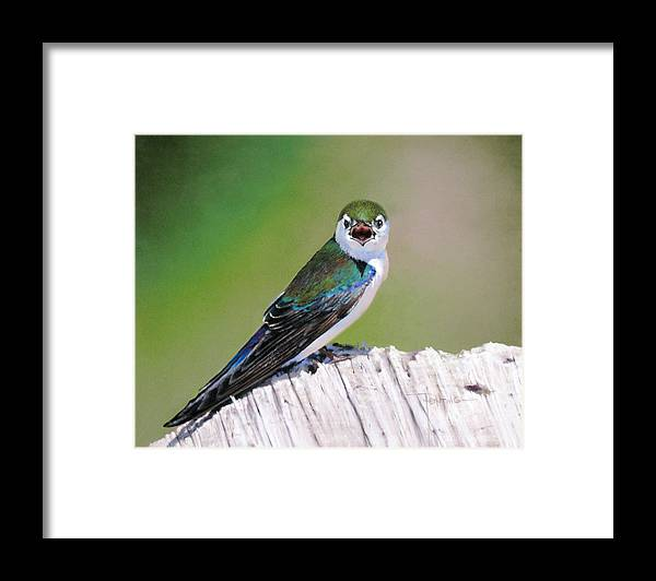 Birds Framed Print featuring the painting Violet Green Swallow by Dianna Ponting