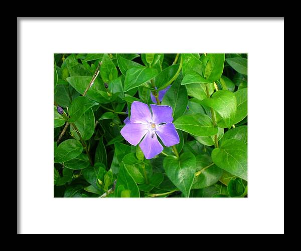 Vinca Herbacea Framed Print featuring the photograph Violet Herbaceous Periwinkle by Taiche Acrylic Art