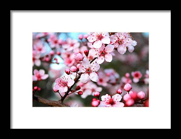 Cherry Blossom Framed Print featuring the photograph Virginia Cherry Blossom by Candice Trimble