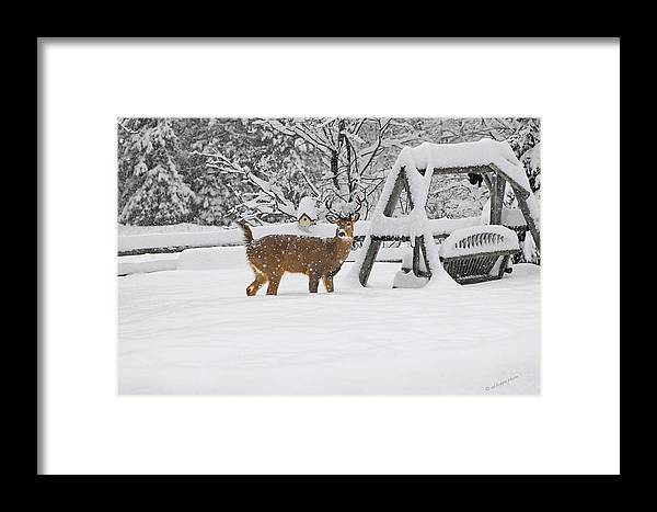 Animal Framed Print featuring the photograph Visiting Winter Buck by Ed Hoppe