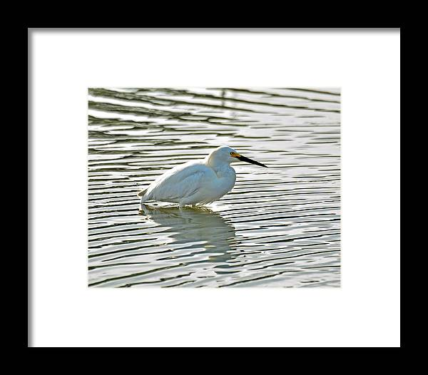 Wildlife Framed Print featuring the photograph Wading Snowy Egret by Paul Weiss