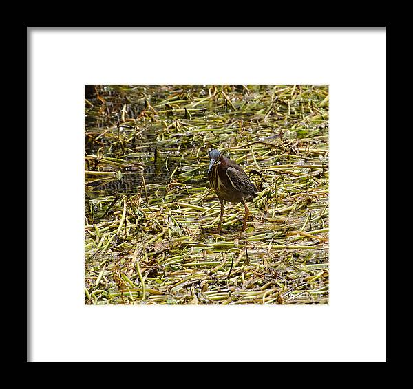 Bird Framed Print featuring the photograph Walking On The Reeds by Donna Brown