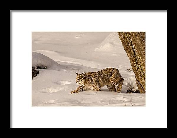 Bobcat Framed Print featuring the photograph Walking Softly by Priscilla Burgers