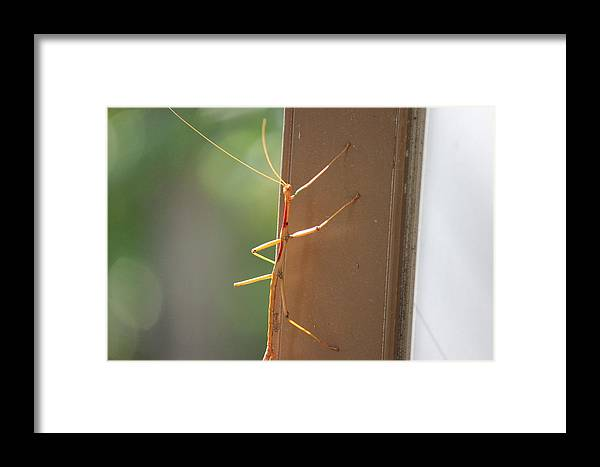 Walking Stick Framed Print featuring the photograph Walking Stick by Edward Hamilton