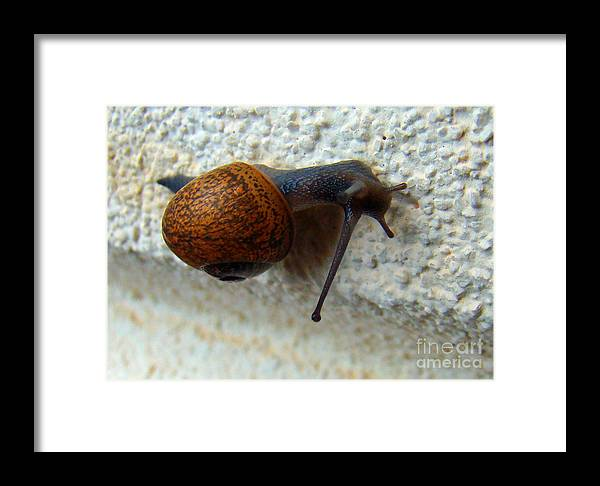 Garden Snail Framed Print featuring the photograph Wall Snail 1 by Nancy L Marshall