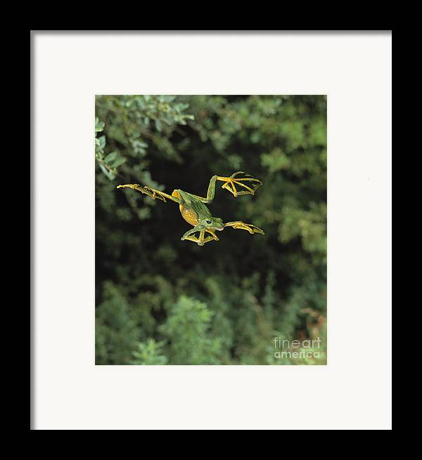Animal Framed Print featuring the photograph Wallaces Flying Frog by Stephen Dalton