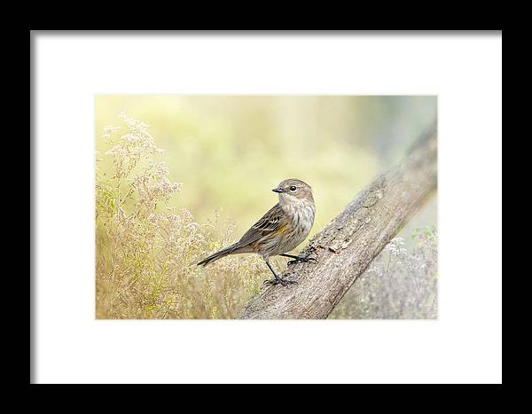 Yellow-rumped Warbler Framed Print featuring the photograph Warbler In Morning Light by Bonnie Barry