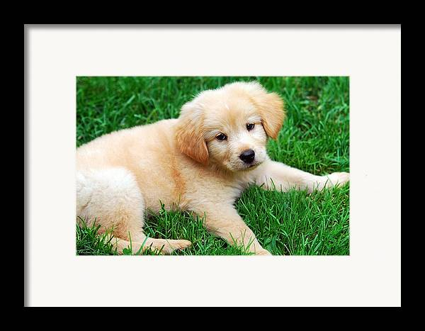 Golden Retriever Puppy Framed Print featuring the photograph Warm Fuzzy Puppy by Christina Rollo