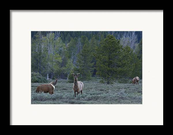 Pronghorn Framed Print featuring the photograph Watchful by Charles Warren