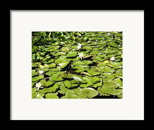 Aquatic Framed Print featuring the photograph Water Lillies by Les Cunliffe