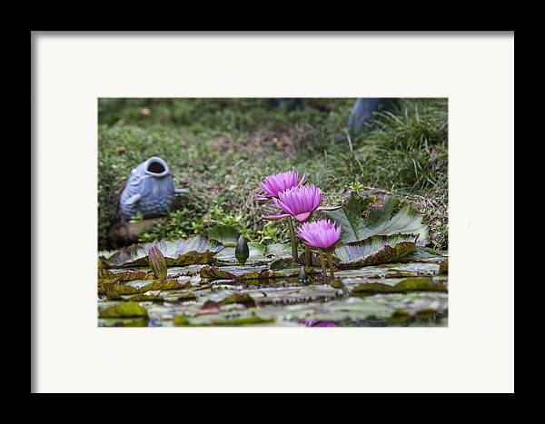 Water Lilly Framed Print featuring the photograph Water Lilly Trio by Charles Warren