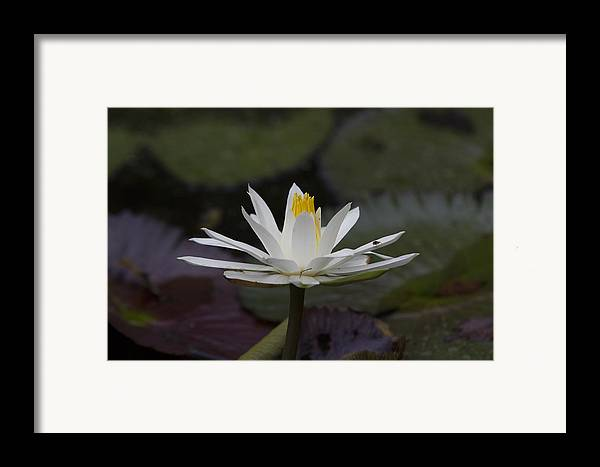 Water Lilly Framed Print featuring the photograph Water Lilly7 by Charles Warren