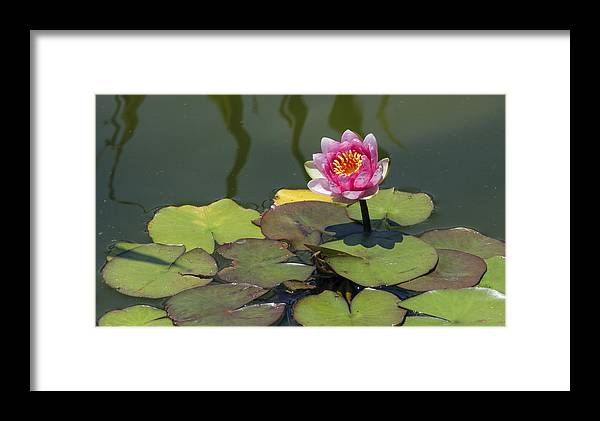 Flower Framed Print featuring the photograph Water Lily 3 by David Lester