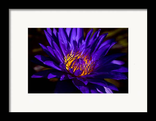 Aquatic Flower Framed Print featuring the photograph Water Lily 7 by Julie Palencia