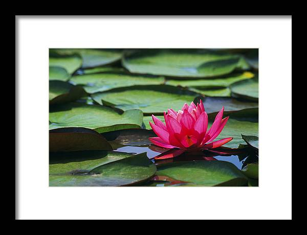Water Framed Print featuring the photograph Water Lily by Brent Flint