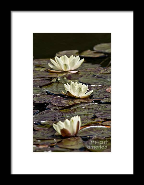 Water Lily Framed Print featuring the photograph Water Lily Pictures 64 by World Wildlife Photography