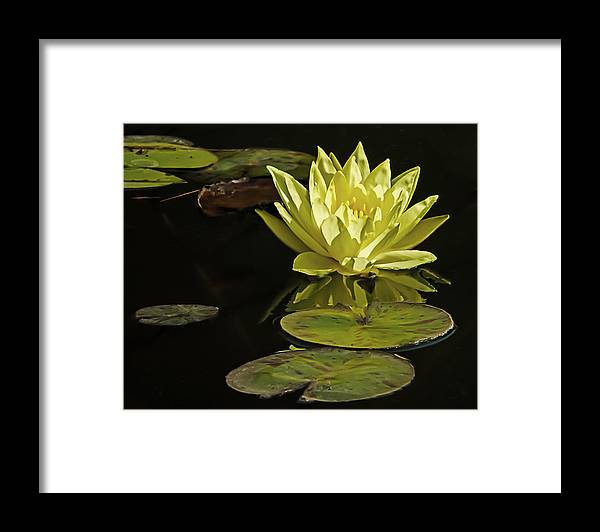 Nature Framed Print featuring the photograph Water Lily by Robert Mitchell