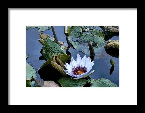 Water Framed Print featuring the photograph Water Lily by Sharon McLain